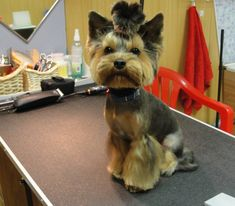 Yorkie haircuts for males and females + pictures) - Yorkie. Toy Yorkshire Terrier, Yorkshire Terrier Haircut, Yorkie Cuts, Yorkie Haircuts, Puppy Room, Yorkie Puppy, Toy Puppies, Dog Chews, Scottish Terrier