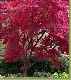 I made a little corner garden for my husband, and the first thing I planted there was a Japanese Maple var. It's been hardier than I had expected, and the color is beautiful, especially when the sunlight illuminates the red of the leaves. Japanese Maple Varieties, Dwarf Japanese Maple, Cottage Garden Plants, Lush Garden, Garden Path, Garden Ideas, Planting Shrubs, Planting Flowers, Bloodgood Japanese Maple