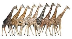 Study reveals four different species of giraffe