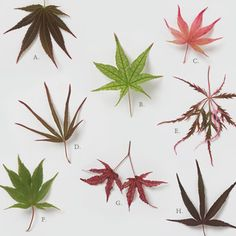 Hard-to-Find Japanese Maples ............ Nevermind, I thought this was something else ALL together ......