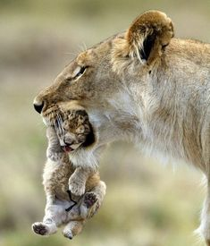 Lioness carries cub in its mouth #BigCatFamily