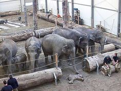 If anyone tells you animals don't have emotions, show them this: Elephants Mourn Calf's Death