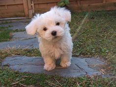 Razas de moda: El Bichón Maltés miniatura | Cuidar de tu mascota es facilisimo.com