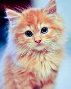 Cute Animals Short Videos from Cute Animals Funny soon Cute Chibi Animals Coloring Pages below Kittens For Sale At Cats Protection Fluffy Kittens, Cute Cats And Kittens, I Love Cats, Crazy Cats, Kittens Cutest, Fluffy Cat, Ragdoll Kittens, Bengal Cats, Hairless Cats