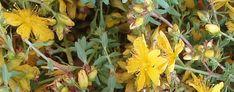 Insomnie et Plantes Médicinales : Millepertuis (Hypericum perforatum)