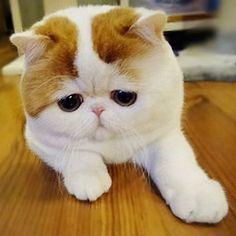 #Cute #big #fat #fluffy #adorable #white  #cat . . . #catsofinstagram #catstagram #kitty #cutekittens #cutecats #cats #kitten #kittens