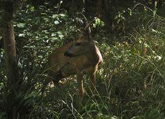 Roebuck #wildlife - http://anenglishwood.com/?p=9985