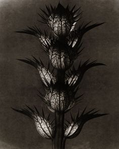 karl blossfeldt fine art photography