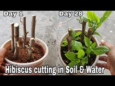 Easiest way to Gow Hibiscus from cutting with Result, Hibiscus cutting in water and soil Growing Hibiscus, Hibiscus Plant, Hibiscus Garden, Growing Greens, Growing Herbs, Garden Plants, Indoor Plants, House Plants, Grafting Roses