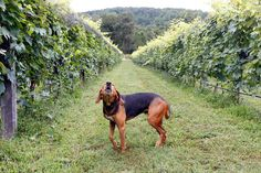 50+ Wineries That Go Above and Beyond for Pets