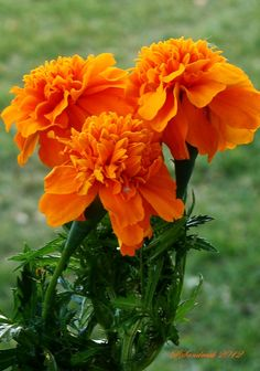 Orange Marigold (Tagetes erecta) by Silvia Sandrock