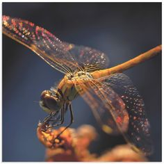Golden Dragonfly is a striking wall art based on the talented photography, artistic editing, and creative enhancements of emerging artist Thierry Dufour. The dragonfly wall art is a high resolution gi