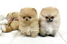 Cream Teacup Pomeranians