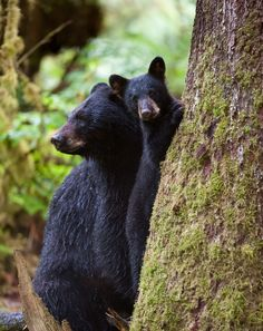 Magnificent picture of black bear family in the Smoky Mountains