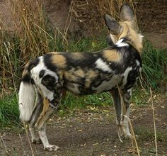 African wild dog picture