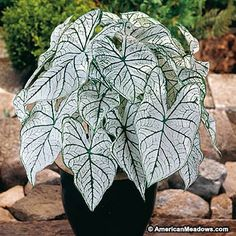 With green and white heart-shaped leaves, this beautiful caladium is perfect for brightening up a shady spot.