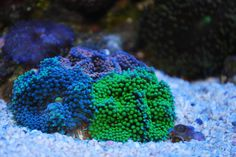 Green: Show it off - Reef Central Online Community - Awesome collection of pictures of green corals & algeas!