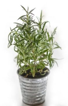 You will find a description of the rosemary plant; cultivation tips for keeping your growing rosemary healthy and tasty; our favorites varieties; and some ideas for how to use the rosemary herb in your home. Natural Mosquito Repellent Plants, Plants That Repel Flies, Feng Shui Plants, Best Herbs To Grow, Rosemary Plant, Grow Rosemary, Growing Herbs Indoors, Fly Repellant, Cool Plants