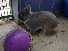 DOUG BUNNY is an adoptable Netherland Dwarf searching for a forever family near Austin, TX. Use Petfinder to find adoptable pets in your area.