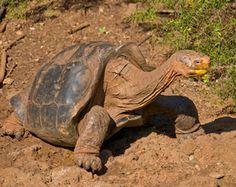 Tortoises of the Galápagos