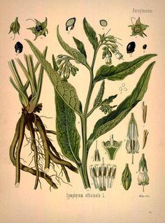 Comfrey, Symphytum officinale  - Köhler's Medizinal-Pflanzen in naturgetreuen Abbildungen mit kurz erläuterndem Texte : - Biodiversity Heritage Library