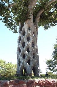 Toborochi tree - Google Search