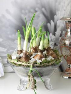 Пророщенные луковицы нарцисса, посаженные в мох, в стеклянном вазоне