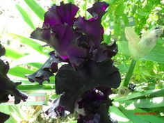 C and T Iris Patch: Fade To Black