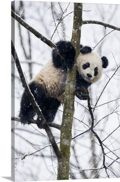 Baby Giant Panda in Tree by Jaynes Gallery : Animals And Pets, Baby Animals, Cute Animals, Nature Animals, Wild Animals, Chengdu, Pembroke Welsh Corgi Puppies, Corgi Mix, Panda Love