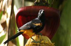 St.Lucia Oriole | The beautiful birds of St Lucia
