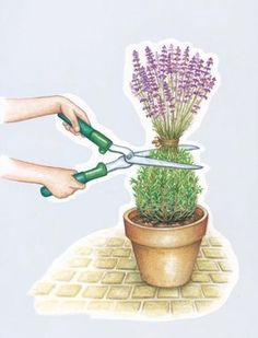 Cutting lavender – my beautiful garden; pruning after flowering; in the … – Garten – Gardening Herb Garden, Garden Plants, Garden Club, Cut Garden, Rocks Garden, Amazing Gardens, Beautiful Gardens, Potted Lavender, Lavender Pruning