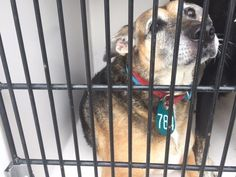 LADY - ID#A474420 - SUPER URGENT SENIOR - Harris County Animal Shelter in Houston, Texas - 11 year old Female Labrador Retriever/German Shepherd mix - at the shelter since Dec 22, 2016.