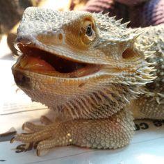Happy sunny Thursday everyone! #buddy #beardiebuddy #misterfitshace #mister_fitshace #beardeddragon #dragon #lizard #reptile #spikey #thursday #2015 #mf