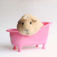 She's the supreme queen of clean… | The Newest Adorable Animal On Instagram Is A Guinea Pig Named Booboo