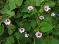 Ipomoea grandifolia