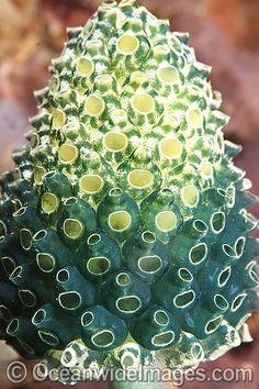 Bottlebrush Ascidian