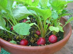 Grow red radishes in a planter.