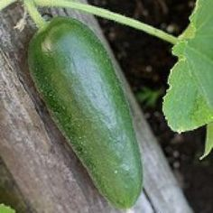 Green Finger Cucumber - High Mowing Organic Seeds