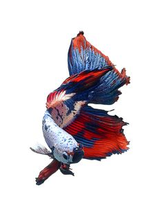 Multi coloured betta fish on white background Animal Themes Art Betta Fish Creative Design Fashion Fins Fish Inspiration Motion Pet Siamese Fighting Fish Studio Shot Swim Swimming Tail Thailand Visarute White Background