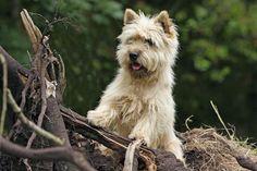 Not as cute as Gimli, but pretty darn cute. :) cairn terrier | Cairn Terrier Welpen vom Züchter kaufen