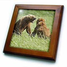 """Alaska, Katmai NP, Brown Bear, Hallo Bay - US02 PSO0821 - Paul Souders - 8x8 Framed Tile by 3dRose. $22.99. Dimensions: 8"""" H x 8"""" W x 1/2"""" D. Solid wood frame. Keyhole in the back of frame allows for easy hanging.. Inset high gloss 6"""" x 6"""" ceramic tile.. Cherry Finish. Alaska, Katmai NP, Brown Bear, Hallo Bay - US02 PSO0821 - Paul Souders Framed Tile is 8"""" x 8"""" with a 6"""" x 6"""" high gloss inset ceramic tile, surrounded by a solid wood frame with pre-drilled keyhole for easy w..."""