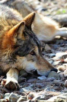 Reminds me of one of my dogs; I didn't know for sure, but I always thought she had Wolf blood. Wolf Spirit, My Spirit Animal, Beautiful Creatures, Animals Beautiful, Der Steppenwolf, Animals And Pets, Cute Animals, Wolf Love, Wolf Pictures