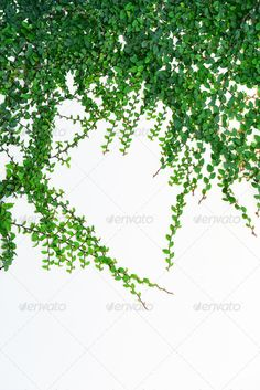 Ivy11 Background Branch Creeper Plant Gardens Green Growth Isolated Ivy Leaf Nature No People Plants Tendril Texture Twig Vine