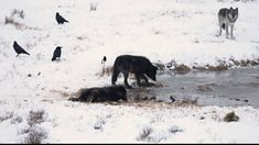 Yellowstone National Park: Genetic researchers pinpoint origin of Yellowstone's black wolves ~ Missoula Current