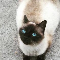 #cat#kittens#cutecat#animal#nature##photo Burmese, Balinese, Cat Art, Thailand, Exotic, Kittens, Kiss, Nature, Animals