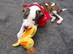 ~~1 YR OLD STUNNING PUPPY TO BE DESTROYED 7/24/14 ~~ Manhattan Center -P  My name is MAX. My Animal ID # is A1006766. I am a male br brindle and white pit bull mix. The shelter thinks I am about 1 YEAR  I came in the shelter as a SEIZED on 07/15/2014 from NY 10463, owner surrender reason stated was OWN ARREST. I came in with Group/Litter #K14-185989.