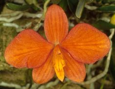 Orchid: Sophronitis pygmaea