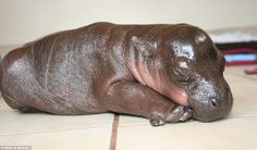 Sleepy baby pygmy hippo