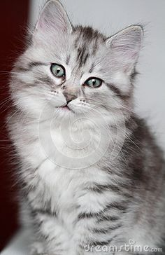 silver kitten of siberian breed