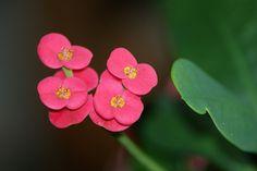 Crown of thorns  046 by cubie271, via Flickr